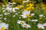 A meadow of wild flowers, with a shallow depth of field