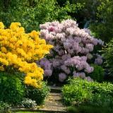 Rhododendron und Azaleenstrauch