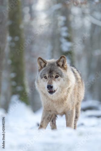 Aluminium Wolf Loup gris dans la forêt