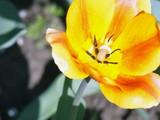 Tulips. Spring beautiful flowers. Summer flowers - 206403576