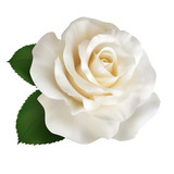 Realistic ivory white rose, Queen of beauty.