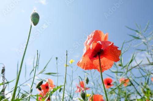 Plexiglas Klaprozen beautiful poppies flowers in green field against blue sky background
