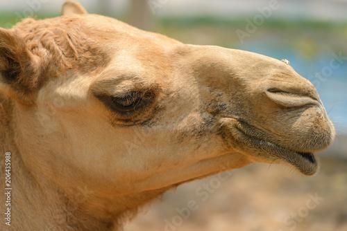 Fotobehang Kameel head shot of camel