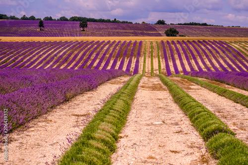 Champ de lavande en Provence, France, Debut de récolte.  © Marina
