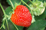 red strawberry on summer time with selected focus