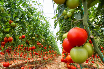 Tomatoes field, greenhouse agriculture © Esin Deniz