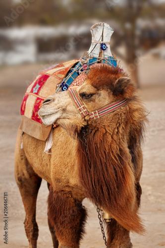 Fotobehang Kameel Portrait of turkish camel