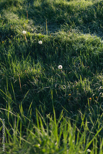 Three faded dandelions in meadow with tall grass during spring.