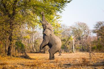 Eating elephant in Liwonde N.P. - Malawi