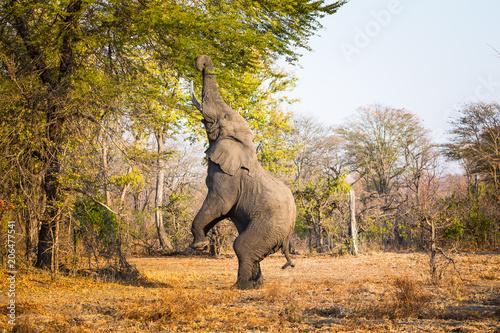 Fototapeta Eating elephant in Liwonde N.P. - Malawi
