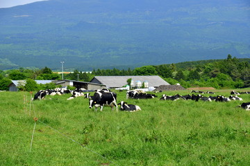 Grazing cattle in Mt fuji