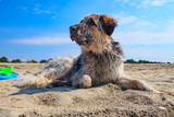 Portrait of white, brown and black large breed dog relaxing at the beach - 206487755