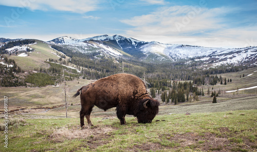 Fotobehang Bison Close up of a bison, american buffalo with a beautiful mountain background in Yellowstone National Park