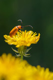 Orange beetle in its natural environment.