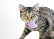 A young tabby domestic shorthair cat carrying a stuffed toy mouse in its mouth
