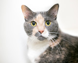 A dilute calico domestic shorthair cat with wide eyes and dilated pupils - 206513576