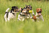 Many dogs run and play with a ball in a meadow - a pack of Jack Russell Terriers - 206526538