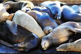 Sea lions - 206528712