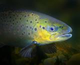 Underwater photo of The Brown Trout, Salmo Trutta. Regen River in National park Bayerischer Wald. Wildlife animals from Bavaria, Germany. - 206532700