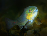 Underwater photo of The Brown Trout, Salmo Trutta. Regen River in National park Bayerischer Wald. Wildlife animals from Bavaria, Germany. - 206532720