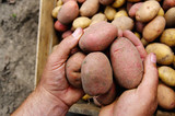 Hands holding fresh potatoes just dug out of the ground - 206543724