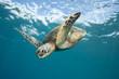Sea Turtle Underwater in Tropical Clear Blue Ocean from Below