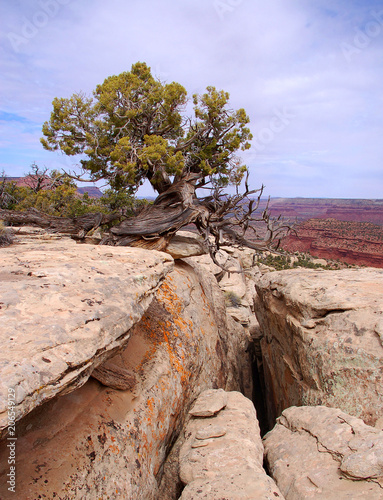 Fotobehang Diepbruine Giant crack in cliffside with a juniper tree in the Bears Ears wilderness of the Southern Utah desert