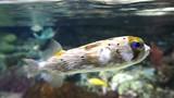 Pufferfish - 206551124