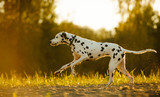 Dalmatian dog running in field in afternoon light