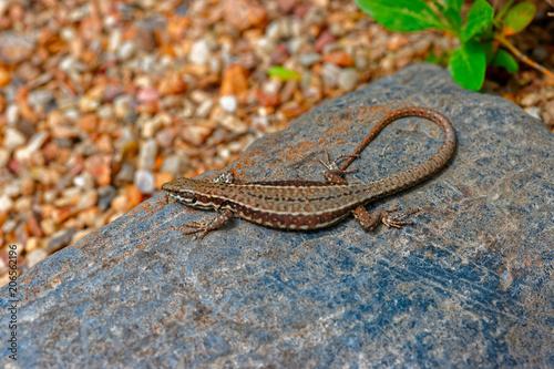 Fotobehang Kameleon Small lizard lying on stone