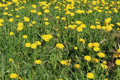 Canvas Paardenbloemen Yellow dandelion against green field