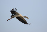 Image of an Asian openbill stork(Anastomus oscitans) flying in the sky. Bird, Wild Animals.