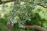 willow tree and pollen on leaves of willow tree,
