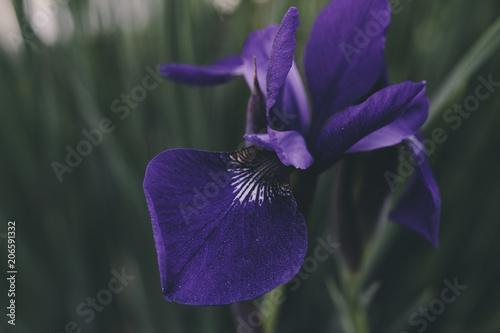 Aluminium Iris Purple Iris