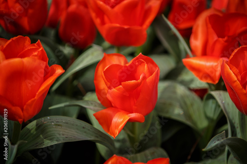 Fotobehang Rood traf. Beautiful flower garden with colorful blooming flowers