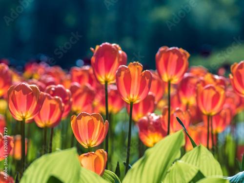 Fotobehang Koraal Pink Tulips. Flower bed or garden with different varieties of tulips.