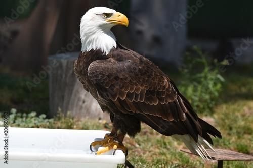 Canvas Eagle aguila calva en españa