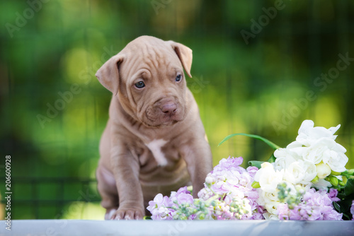 beautiful pit bull terrier puppy posing outdoors