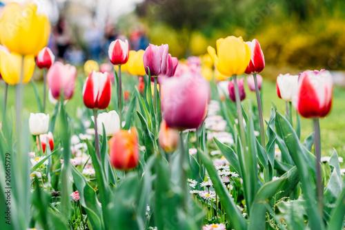 Fotobehang Tulpen Colorful Tulip Flowers Close-Up In Netherlands Garden
