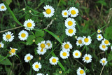 daisy, flower, nature, white, field, summer, plant, meadow, grass, spring, green, flowers, garden, yellow, camomile, daisies, chamomile, flora, bloom, blossom, floral, beauty, natural, herb, beautiful