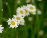 Daisy flower (bellis perennis) with green natural background ideal for greeting card, screen saver, cell phone screens. Selected focus, narrow depth of field