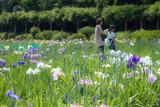 菖蒲の花畑を散策する親子2