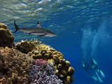 Shark and scuba diver - 206650318