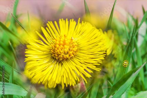 Plexiglas Geel Yellow primrose Coltsfoot flower close - up on leaf background, spring landscape