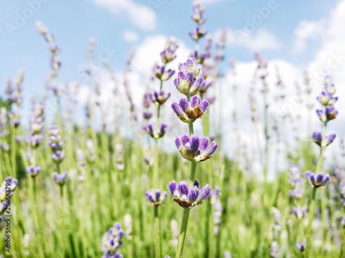 Fotobehang Lavendel Lavender flowers, seasonal natural scene
