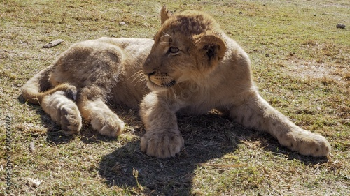 Canvas Lion Lion cub sitting in an open field with warm sunlight.