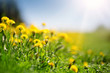 Green field with yellow dandelions and blue sky. view to grass and flowers on the hill on sunny spring day - 206667944
