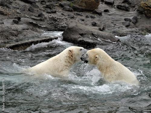 Fotobehang Ijsbeer Bears at Hannover Zoo