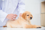 Hands of veterinarian giving injection to little golden retriever in vet clinic