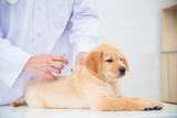 Hands of veterinarian giving injection to little golden retriever in vet clinic - 206672351
